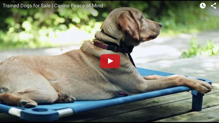 Trained Dogs for Sale at Canine Peace of Mind