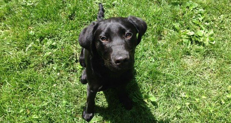 Black Lab Trained Dogs For Sale